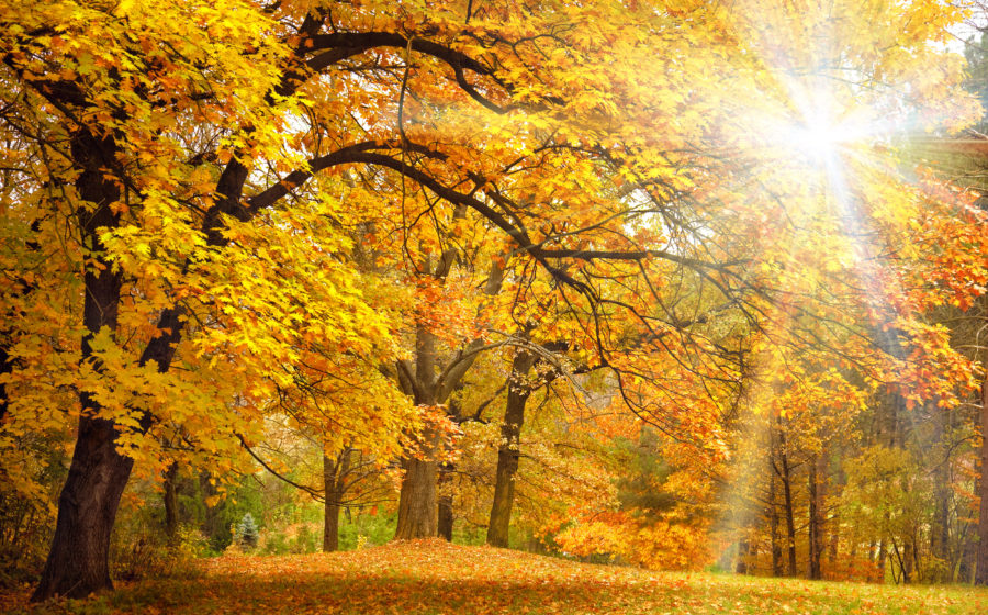 Autumn golden trees in the park